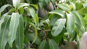 Rassemblement du fruit de mangue de la branche de l'arbre dans la récolte banque de vidéos