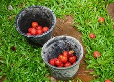 Rassemblez les baies oranges rouges de graine de palmier dans le seau Image libre de droits
