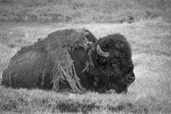 Rasta Bison. Dreadlock bison relaxing in the park Royalty Free Stock Images