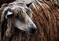 Rasta sheep Stock Photography