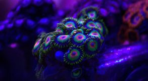 Rasta Zoanthid Royalty Free Stock Photo