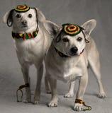 Rastafarian Hunde Stockfotografie