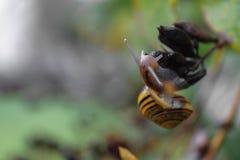 Rastejamento amarelo do caracol do bosque no ramo do arbusto Foco principal da câmera na cabeça dos caracóis fotos de stock royalty free