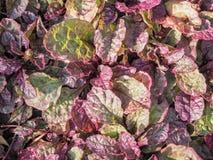 Rastejamento do Ajuga Cultivo de plantas decorativas para ajardinar urbano Plantas decorativas para ajardinar Fotografia de Stock Royalty Free