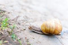 Rastejamento do caracol Imagens de Stock