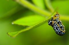 Rastejamento macro da lagarta Fotografia de Stock