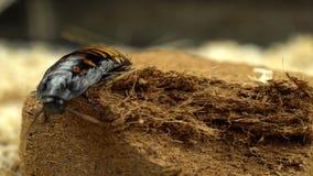 Rastejamentos da barata de Madagáscar no fim pressionado da serragem acima filme