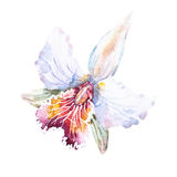Raster watercolor lilies Royalty Free Stock Images