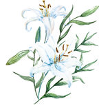 Raster watercolor lilies Stock Images