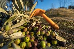 Rastrillo con las aceitunas orgánicas cosechadas en granja italiana imágenes de archivo libres de regalías