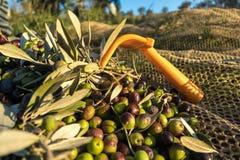 Rastrillo con las aceitunas orgánicas cosechadas en granja italiana fotografía de archivo