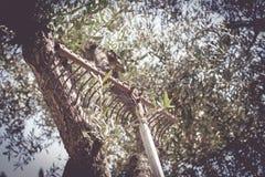 Rastrillo viejo abandonado en tronco de olivo Foto de archivo libre de regalías