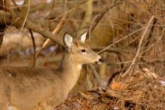 rastro cercano Blanco-atado de los ciervos Fotos de archivo