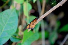 Rastro 2 de la mariposa foto de archivo libre de regalías