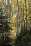Rastro del árbol de abedul en otoño Imagen de archivo