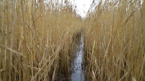 Rastro del agua en el lago a través de las cañas en otoño almacen de video