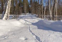 Rastro del Fox en la nieve que lleva adentro al bosque Fotos de archivo libres de regalías