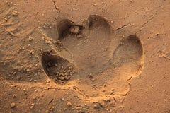 Rastro del hipopótamo Imagen de archivo libre de regalías