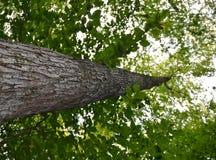 Rastro del pájaro de maderas del Sapsucker sombreado por los árboles altos Fotos de archivo libres de regalías