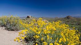 Rastro del pico del pináculo del marco de las flores de Brittlebush Imagen de archivo libre de regalías
