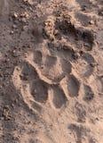 Rastro del tigre en la arena fotos de archivo
