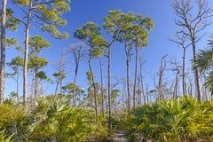 Rastro a través de pinos de la raya vertical en las zonas tropicales Imagen de archivo