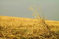 Rastrojo con las espigas de trigo Imagen de archivo libre de regalías