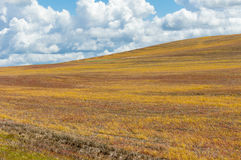 Rastrojo de oro en campos cosechados Foto de archivo libre de regalías