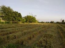Rastrojo del arroz fotos de archivo libres de regalías