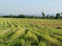 Rastrojo del arroz fotografía de archivo libre de regalías