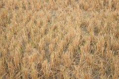 Rastrojo del arroz del campo Fotografía de archivo libre de regalías