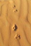 Rastros de zorro del desierto en la arena Fotos de archivo