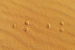Rastros de zorro del desierto en la arena Foto de archivo libre de regalías