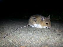 ratón Fotografía de archivo libre de regalías