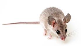ratón Fotos de archivo