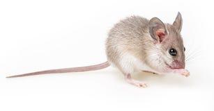 ratón Fotografía de archivo