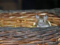 Ratón Foto de archivo libre de regalías