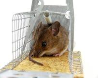 Ratón atrapado vivo Fotos de archivo libres de regalías