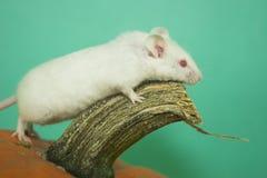 Ratón blanco Imagenes de archivo