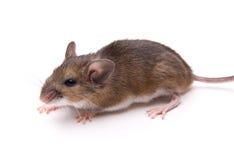 Ratón Blanco-Alzado aislado imagenes de archivo
