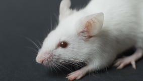 Ratón blanco del laboratorio en el primer negro del fondo Concepto - prueba de las drogas, vacunas, animales de laboratorio, huma almacen de video