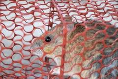 Ratón, caugth de la rata en la jaula de la ratonera fotos de archivo libres de regalías