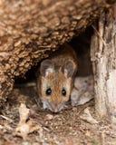 Ratón con base blanco en primavera Fotos de archivo libres de regalías