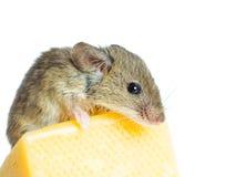 Ratón con queso Foto de archivo libre de regalías