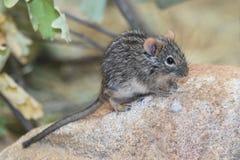 ratón Cuatro-rayado de la hierba Fotografía de archivo libre de regalías