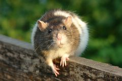 Ratón curioso Imagenes de archivo