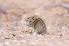 Ratón de campo rayado Fotos de archivo