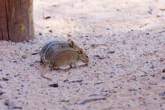 Ratón de campo rayado Imagen de archivo