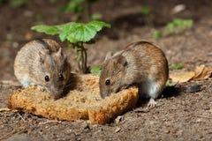 Ratón de campo rayado (agrarius del Apodemus). Fotos de archivo libres de regalías