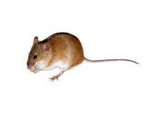 Ratón de campo rayado (agrarius del Apodemus). Foto de archivo